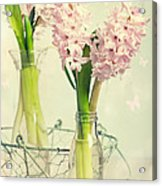 Spring Hyacinths Acrylic Print