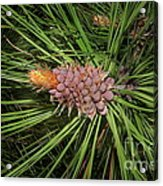 Spring In The Pines Acrylic Print