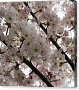 Spring Is Beautiful - A Cloud Of Pastel Pink Blossoms Acrylic Print