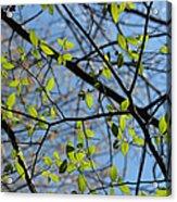 Spring Leaves 2 Acrylic Print