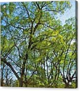Spring Leaves In The Willows Acrylic Print