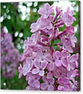 Spring Lilac Acrylic Print