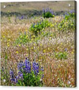 Spring Lupines And Cheatgrass Acrylic Print