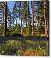 Spring Lupines In The Forest Acrylic Print