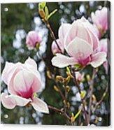Spring Magnolia Tree Flowers Pink White Acrylic Print