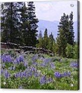 Spring Mountain Lupines Acrylic Print