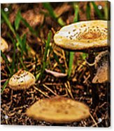 Spring Mushrooms Acrylic Print