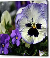Spring Pansy Flower Acrylic Print
