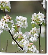 Spring Pear Blooms Acrylic Print