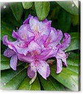 Spring Perfect Rhodie Acrylic Print