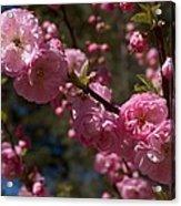 Spring Pink Flowering Acrylic Print