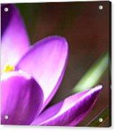 Spring Purple Acrylic Print