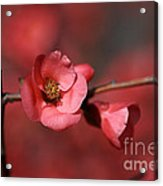 Spring Richness - Flowering Quince Acrylic Print