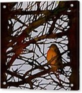 Spring Robins Gather Acrylic Print