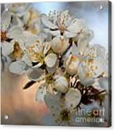 Spring Smells Of Cherries Acrylic Print