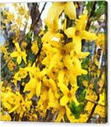 Spring - Sprig Of Forsythia Acrylic Print