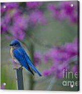 Spring Time Blue Bird Acrylic Print