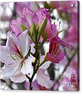 Spring Tree Blossoms Acrylic Print