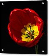 Spring Tulip 1 Acrylic Print