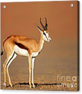Springbok On Sandy Desert Plains Acrylic Print