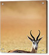 Springbok Resting On Green Desert Grass Acrylic Print