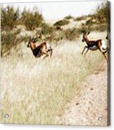 Springbok Running Acrylic Print