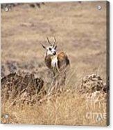 Springbok V3 Acrylic Print