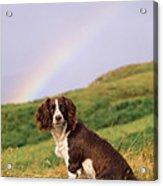 Springer Spaniel Dog Acrylic Print