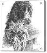 Springer Spaniel Dog Pencil Portrait Acrylic Print