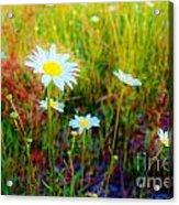 Springing Daisy's Acrylic Print