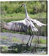 Springing Sandhill Crane Acrylic Print