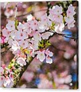 Spring's First Blush Acrylic Print
