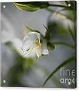 Spring's Late Bloom Acrylic Print