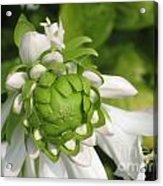 Springtime Bud Acrylic Print