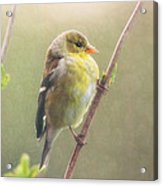 Springtime Goldfinch Acrylic Print
