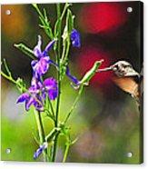 Springtime Hummer Acrylic Print