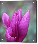 Springtime Magnolia Blossom Acrylic Print