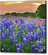 Springtime Sunset In Texas - Texas Bluebonnet Wildflowers Landscape Flowers Paintbrush Acrylic Print by Jon Holiday
