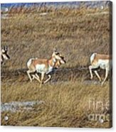 Sprinting Pronghorn Acrylic Print