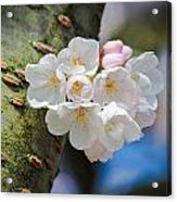 Sprouting Cherry Blossoms Acrylic Print