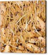 Sprouting Russian Banana Fingerling Seed Potatoes Acrylic Print