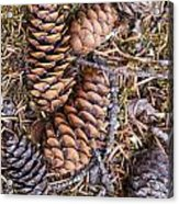 Spruce Cones Acrylic Print