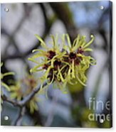 Spry In Yellow  Acrylic Print