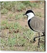 Spur-winged Lapwing Acrylic Print