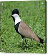 Spur-winged Plover Acrylic Print
