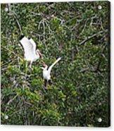 Squabbling Birds Acrylic Print