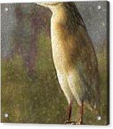Squacco Heron Ardeola Ralloides Acrylic Print