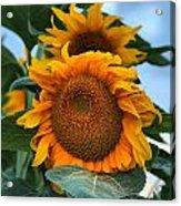 Squamish Sunflower Portrait Acrylic Print