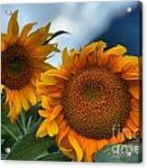 Squamish Sunflowers Acrylic Print