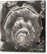 Square Sepia Sea Shell Acrylic Print